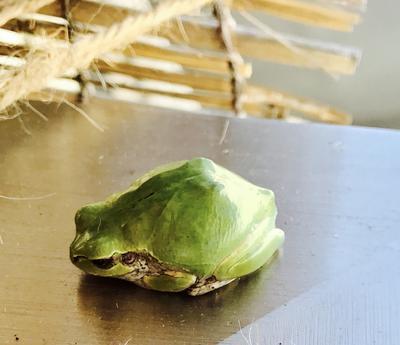 会社の人がマルタンと名付けた二年目の雨蛙