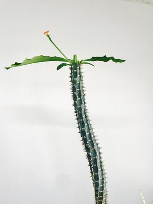 3年連続で美しい花を咲かせたサボテン